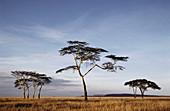 Fever trees (Acacia xanthophloea). Serengeti National Park, Tanzania