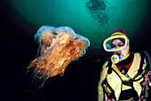 Diver and Lion's mane jellyfish (Cyanea capillata). Norway