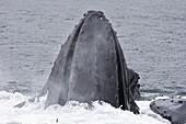 Adult humpback whales (Megaptera novaeangliae)