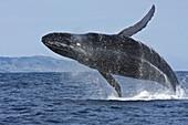 Adult humpback whale Megaptera novaeangliae