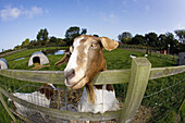 Boer Goat waiting for a Feed. Norfolk. UK.