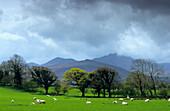 Sheep on a pasture under rain clouds, County Cork, Ireland, Europe