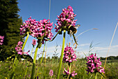 Betony flower with bumble bee, wildflowers in a meadow, Stachys officinalis, Betonica officinalis, Bavaria, Germany
