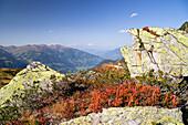 Autumn colours in the Zillertal Alps, Blueberries, Vaccinium myrtillus, Austria