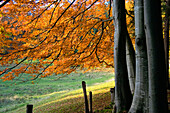 Autumn beech tree, beech tree with autumn foliage, Fagus sylvatica, Germany