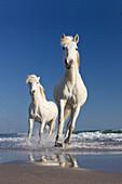 Camarguepferde laufen durchs Wasser am Strand, Camargue, Südfrankreich
