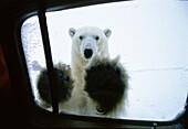 Polarbear at car window, Ursus maritimus, Churchill, Canada