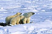 Polar Bear with cubs, Ursus maritimus, Churchill, Canada