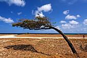 West Indies, Aruba, Dibi Divi Tree