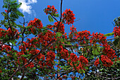 West Indies, Aruba, Flame Tree, Royal poinciana