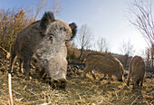 Wild boar , Sus scrofa, Germany, Bavaria