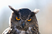 Eurasian Eagle Owl , Bubo bubo, Germany, Bavaria