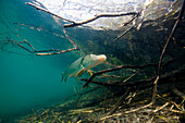 Northern Pike, Esox lucius, Germany, Echinger Weiher Lake, Munich, Bavaria