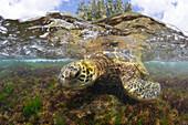 Green Turtle feeding Algas, Chelonia mydas, Oahu, Pacific Ocean, Hawaii, USA