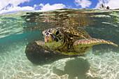 Green Turtle, Chelonia mydas, Oahu, Pacific Ocean, Hawaii, USA