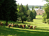 Deers grazing on a meadow, Deer Park and Tambach Palace, Franconia, Bavariy, Germany