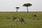 Zebra and acacia in Masai Mara, nature reserve and wild life reserve, Kenia, Africa