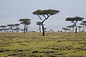 Umbrella thorn acacias at Masai Mara National Park, Kenya, Africa