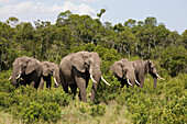 Five african elephants in front of trees at Masai Mara National Park, Kenya, Africa