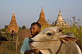 Burmese farmer with oxen in front of pagodes in Bagan, Myanmar, Burma