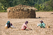 Three burmese women working on a field near Mount Popa, Myanmar, Burma