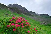 Alpenrosen mit Tau vor Bergkulisse, Kratzer, Allgäuer Alpen, Schwaben, Bayern, Deutschland