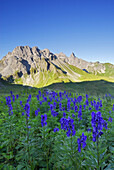 Blooming monkshood, Allgaeu Alps, Bavaria, Germany