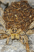Wolf spider (Lycosa radiata). Female carrying nymphs in the abdomen