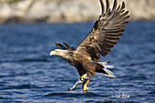 A sea-eagle is catching a fish at the Norwegian Coast