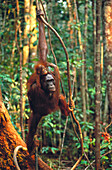 Bornean Orangutan (Pongo pygmaeus), adult and young in tree. Borneo