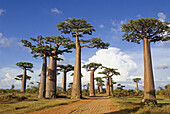 Madagascar. Morondava. Baobab trees.
