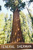 General Sherman tree, largest living tree in the world: size is calculated by the volume inside the tree. Sequoias are wider than coastal Redwoods, but do not tend to  grow as tall. California, USA