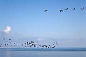 Flying brent geese, Steenodde, Amrum island, Schleswig-Holstein, Germany