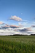 Grain field, Amrum island, Schleswig-Holstein, Germany