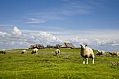 Flock of sheep, dwelling mound, Hallig Groede, Schleswig-Holstein, Germany
