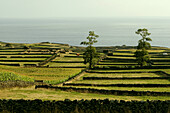Cows and agricultural landscape, Terceira Island, Azores, Portugal