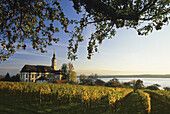 Branches of an apple tree, a vineyard and the pilgrimage church of Birnau abbey in the light of the evening sun, Lake Constance, Baden Wurttemberg, Germany