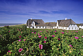 Dog roses and house Kliffende in the sunlight, Kampen, Sylt island, North Friesland, North Sea, Schleswig-Holstein, Germany