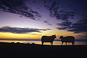Sheep on the dike at sunset, Pellworm island, North Friesland, North Sea, Schleswig-Holstein, Germany