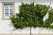 Weinstock an einer Hauswand, Iphofen, Franken, Bayern, Deutschland