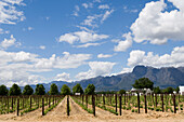 Vines under blue sky, vineyard Fredericksburg, Franschhoek Valley, South Africa, Africa
