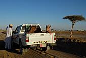 A man and a dromedary on the platform of a car, Al Ain, United Arab Emirates