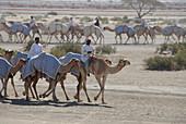 Local men riding dromedaries, Al Ain, United Arab Emirates