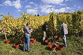 Vintage, Rotenberg vinery, Unterturkheim, Stuttgart, Baden-Wurttemberg, Germany