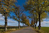 Country road lined with trees, Gotland, Sweden, Scandinavia, Europe