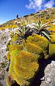 Alpine vegetation along the Kepler Track in the sunlight, Kepler Mountains, South Island, New Zealand, Oceania