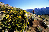 Alpine vegetation in the sunlight and a trekker on the Keppler Track, Fiordland National Park, South Island, New Zealand, Oceania