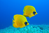 Pair of Masked Butterflyfish, Chaetodon semilarvatus, Daedalus Reef, Red Sea, Egypt