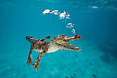 Saltwater Crocodile, Crocodylus porosus, Queensland, Australia