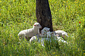 Agriculture, Animal, Animals, Color, Colour, Country, Countryside, Daytime, Exterior, Farm animals, Farming, Flock, Flocks, Herbivore, Herbivores, Herbivorous, Herd, Herds, Innocence, Innocent, Lamb, Lambs, Livestock, Mammal, Mammals, Nature, Outdoor, Out